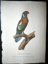 Shaw C1800's Antique Hand Coloured Bird Print. Variegated Parrakeet